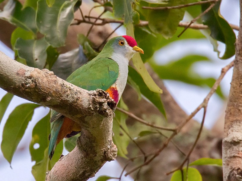 Beautiful Fruit-Dove - Lars Petersson