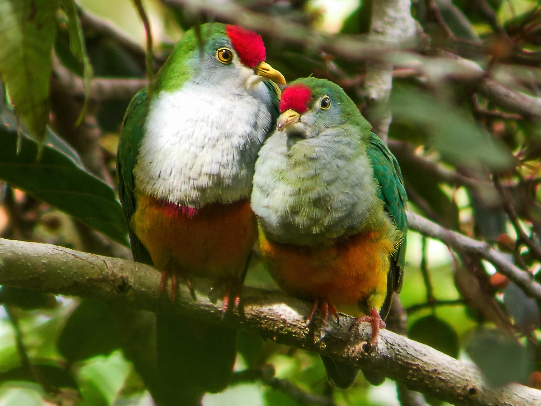 Beautiful Fruit-Dove - Nick Athanas