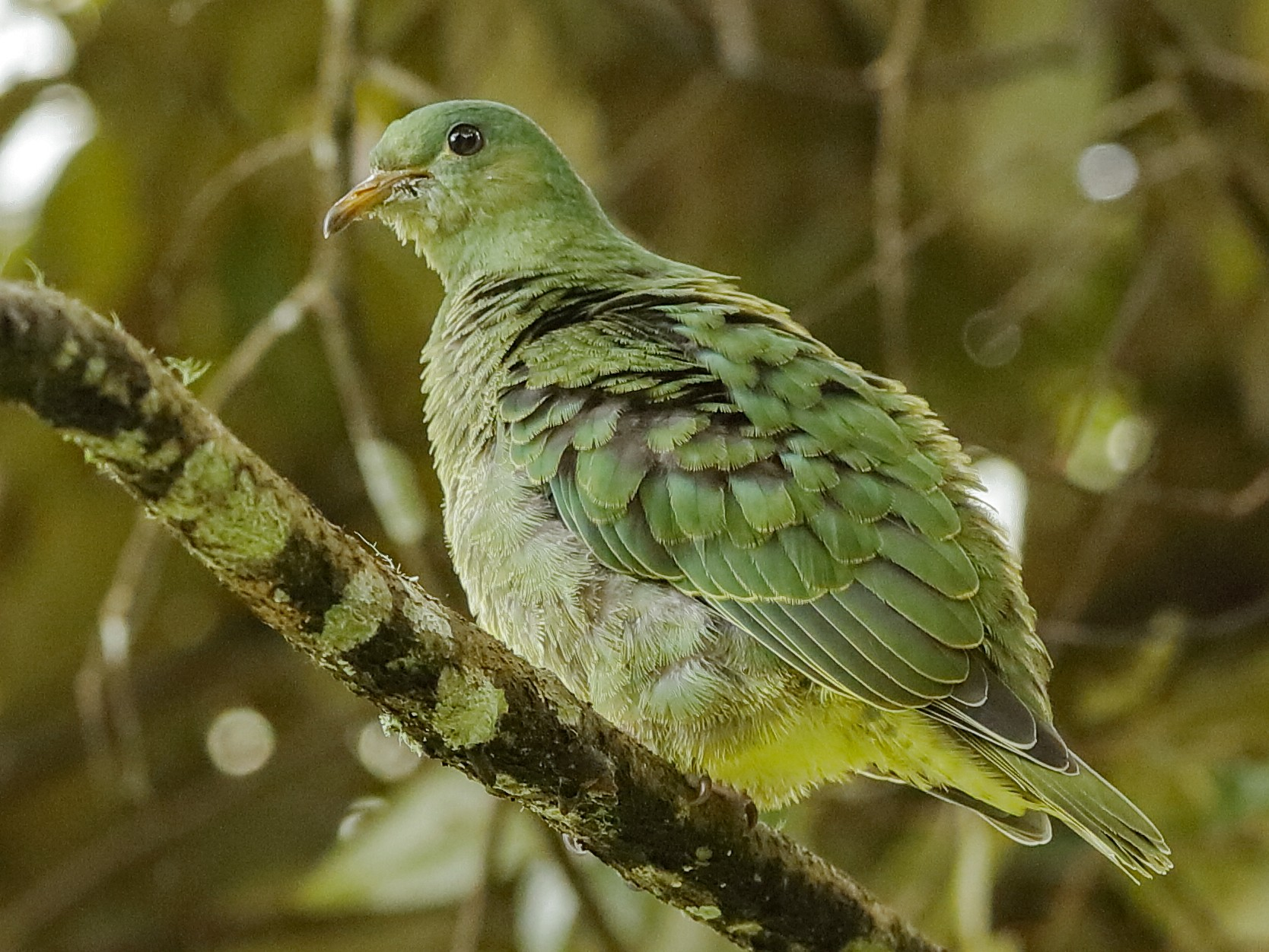 White-breasted Fruit-Dove - Holger Teichmann