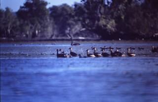 Black Swan, ML261329951