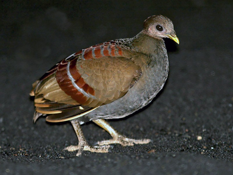 Moluccan Scrubfowl - Dubi Shapiro