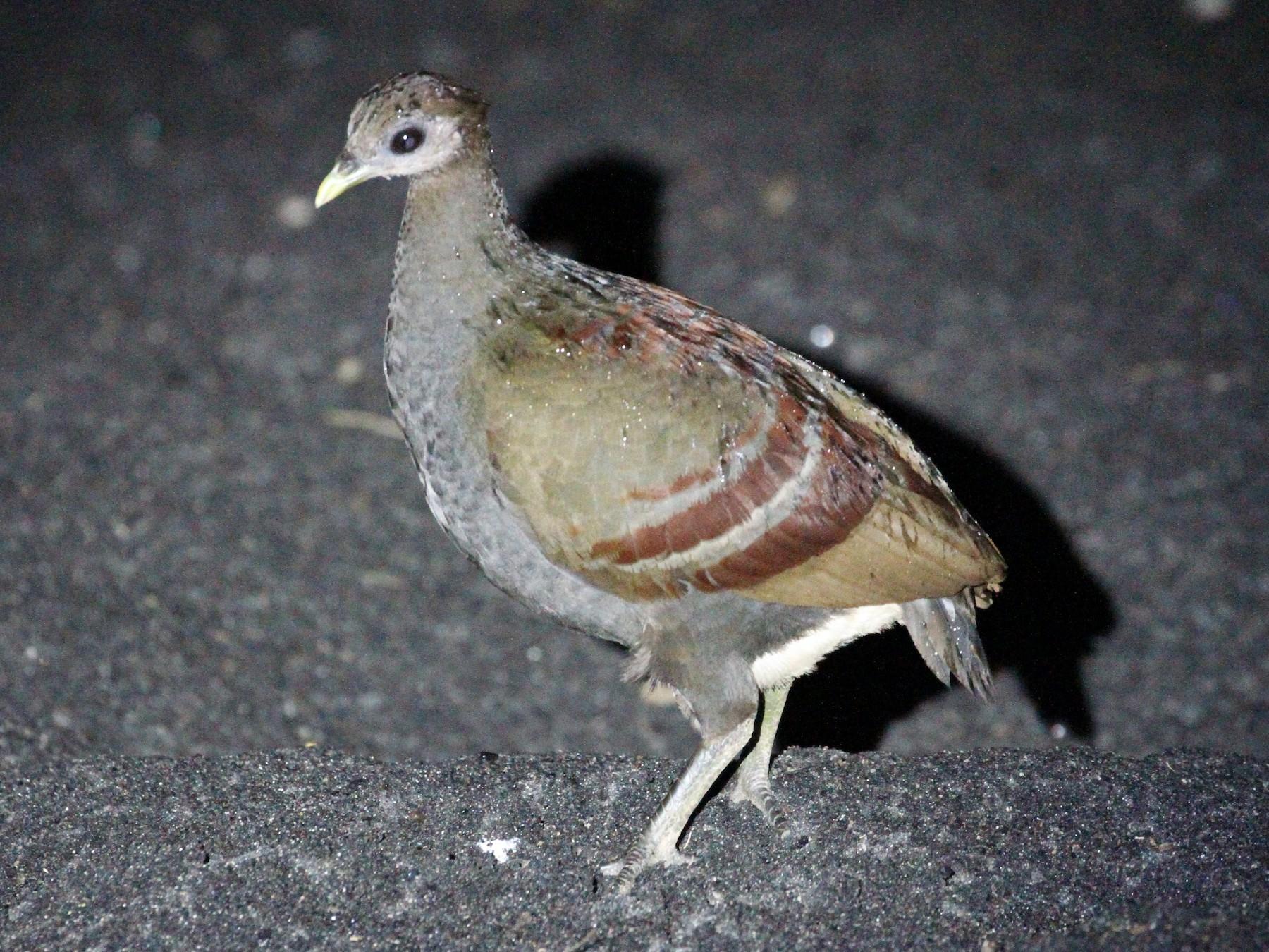 Moluccan Scrubfowl - Rainer Seifert