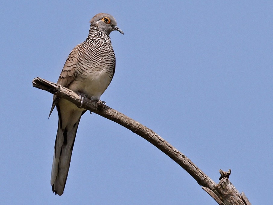 Barred Dove - Lars Petersson
