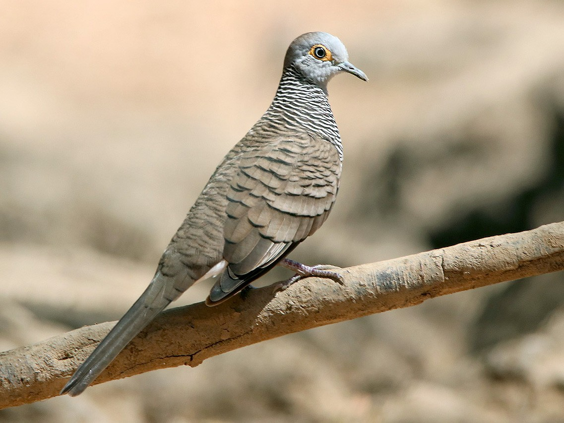 Barred Dove - Tim Avery