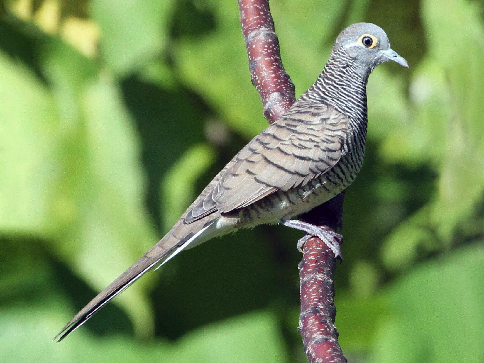 Barred Dove - Colin Trainor