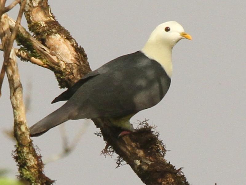 Black-backed Fruit-Dove - Colin Trainor