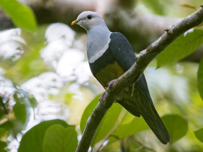 Black-backed Fruit-Dove - Dubi Shapiro