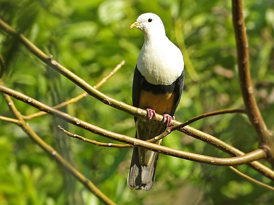 Black-backed Fruit-Dove - James Eaton