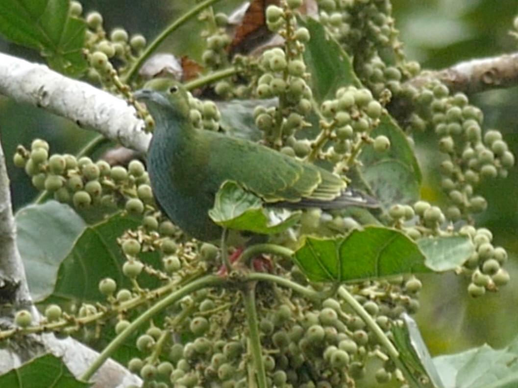 Blue-capped Fruit-Dove - Josep del Hoyo