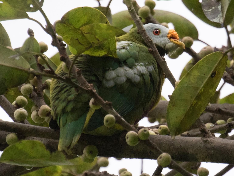Carunculated Fruit-Dove - Ross Gallardy