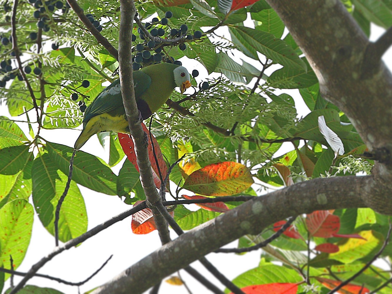 Carunculated Fruit-Dove - James Eaton