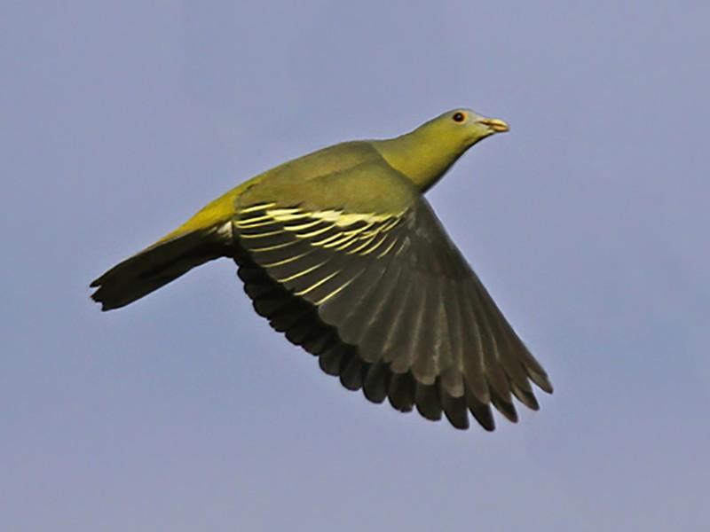 Flores Green-Pigeon - James Eaton