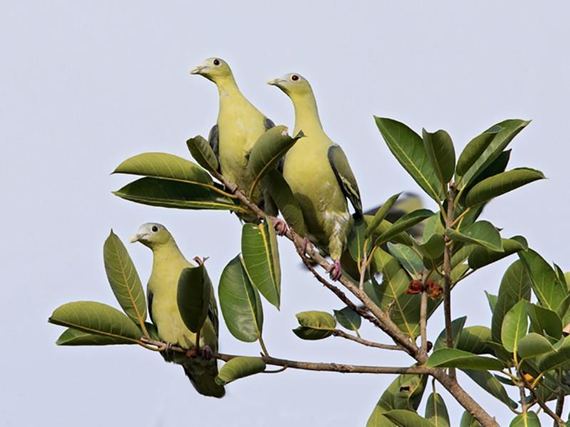 Flores Green-Pigeon - Dubi Shapiro