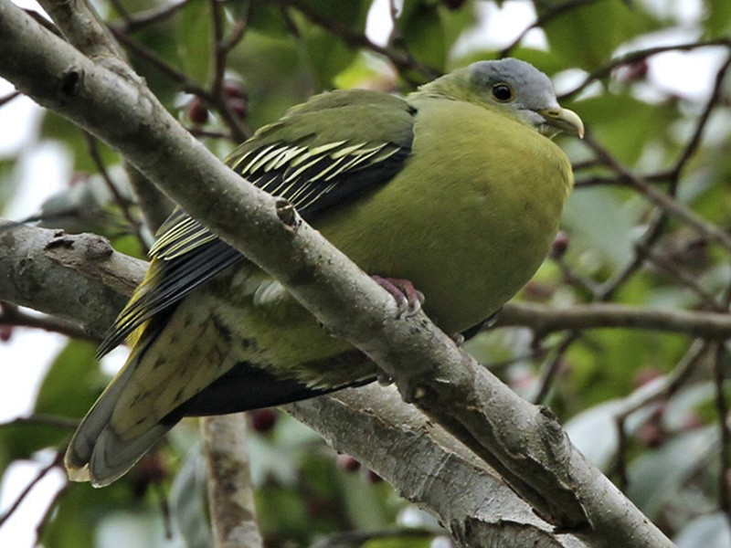 Flores Green-Pigeon - Lars Petersson