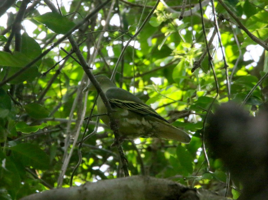 Flores Green-Pigeon - Yovie Jehabut