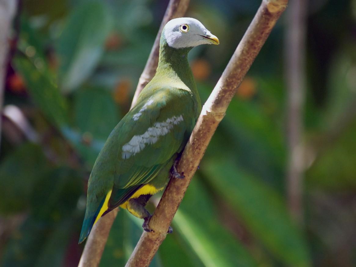 Gray-headed Fruit-Dove - John C. Mittermeier