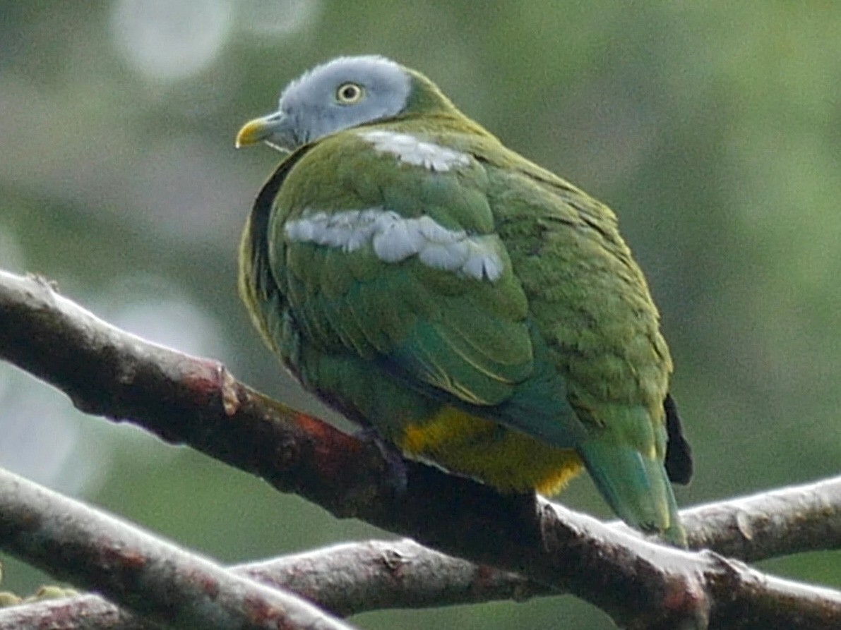 Gray-headed Fruit-Dove - Josep del Hoyo