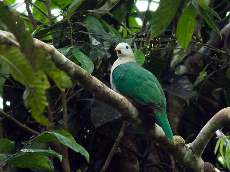 Maroon-chinned Fruit-Dove - Wilbur Goh Soon Kit