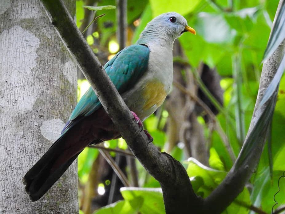 Maroon-chinned Fruit-Dove - Panji Gusti Akbar