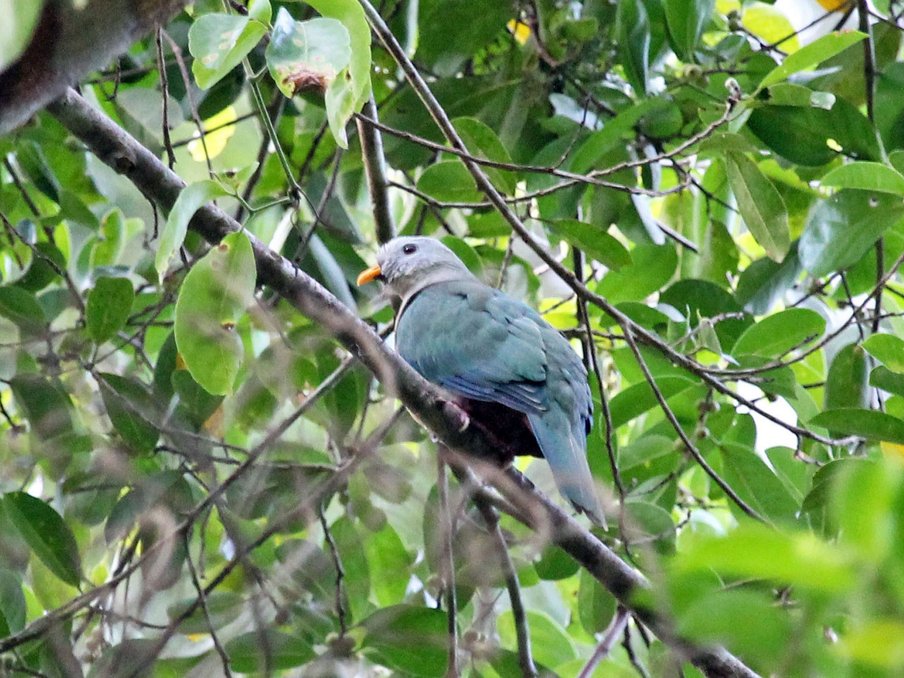 Maroon-chinned Fruit-Dove - Phillip Edwards