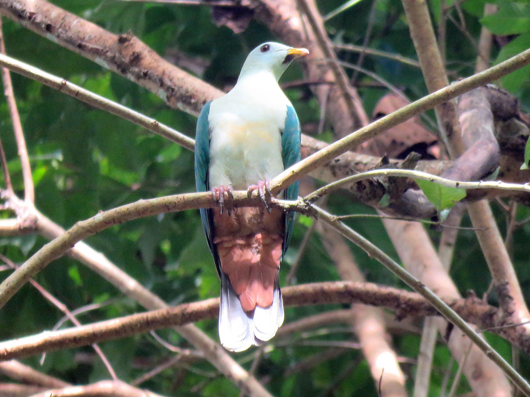 Maroon-chinned Fruit-Dove - Timothy Forrester