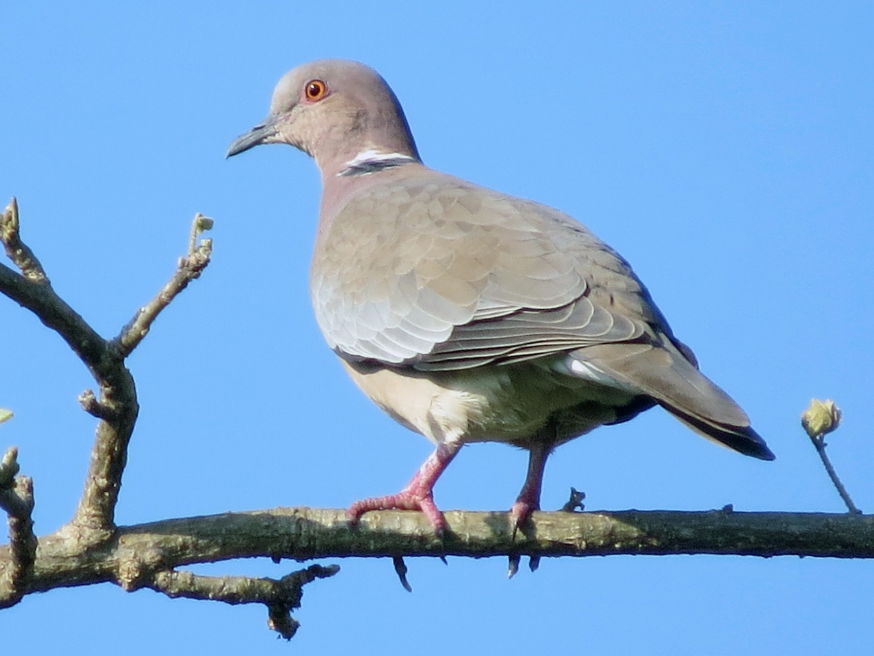 Island Collared-Dove - Anonymous eBirder