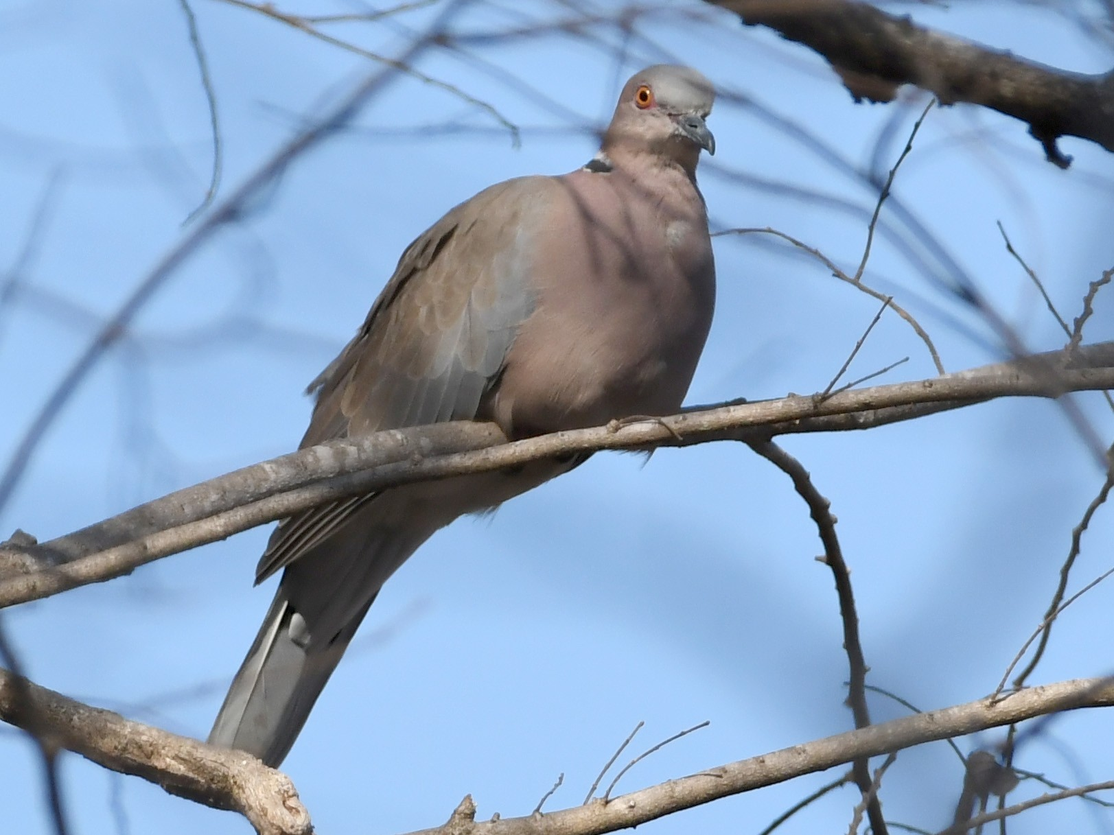 Island Collared-Dove - Vlad Sladariu