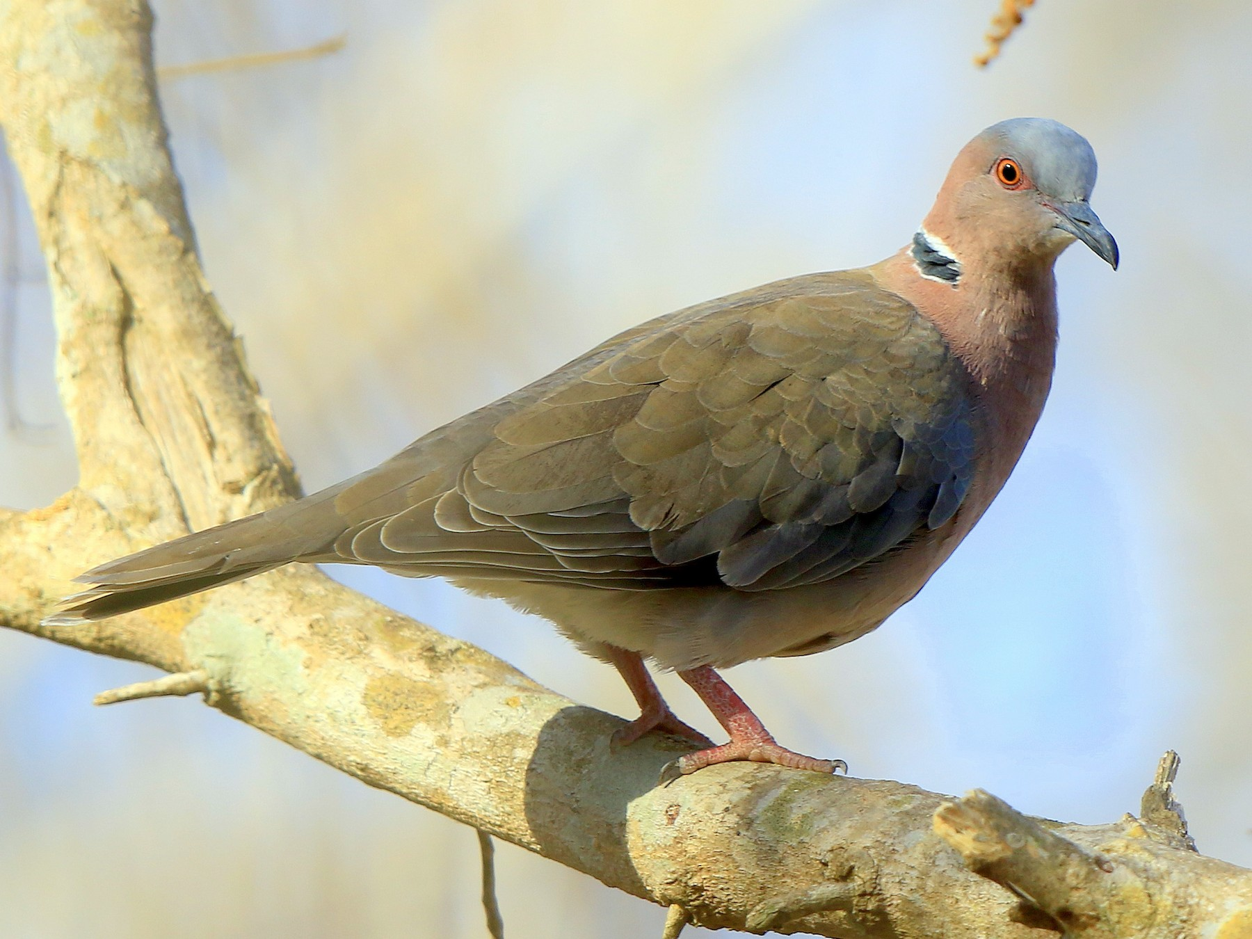 Sunda Collared-Dove - Fanis Theofanopoulos (ASalafa Deri)