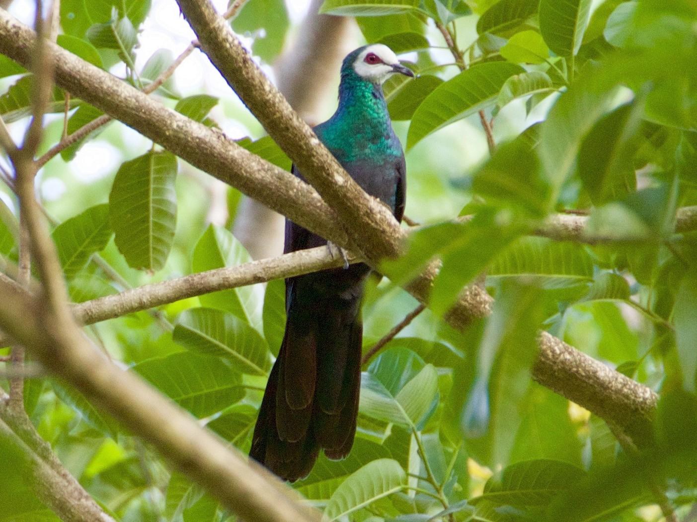 White-faced Cuckoo-Dove - Scott Baker