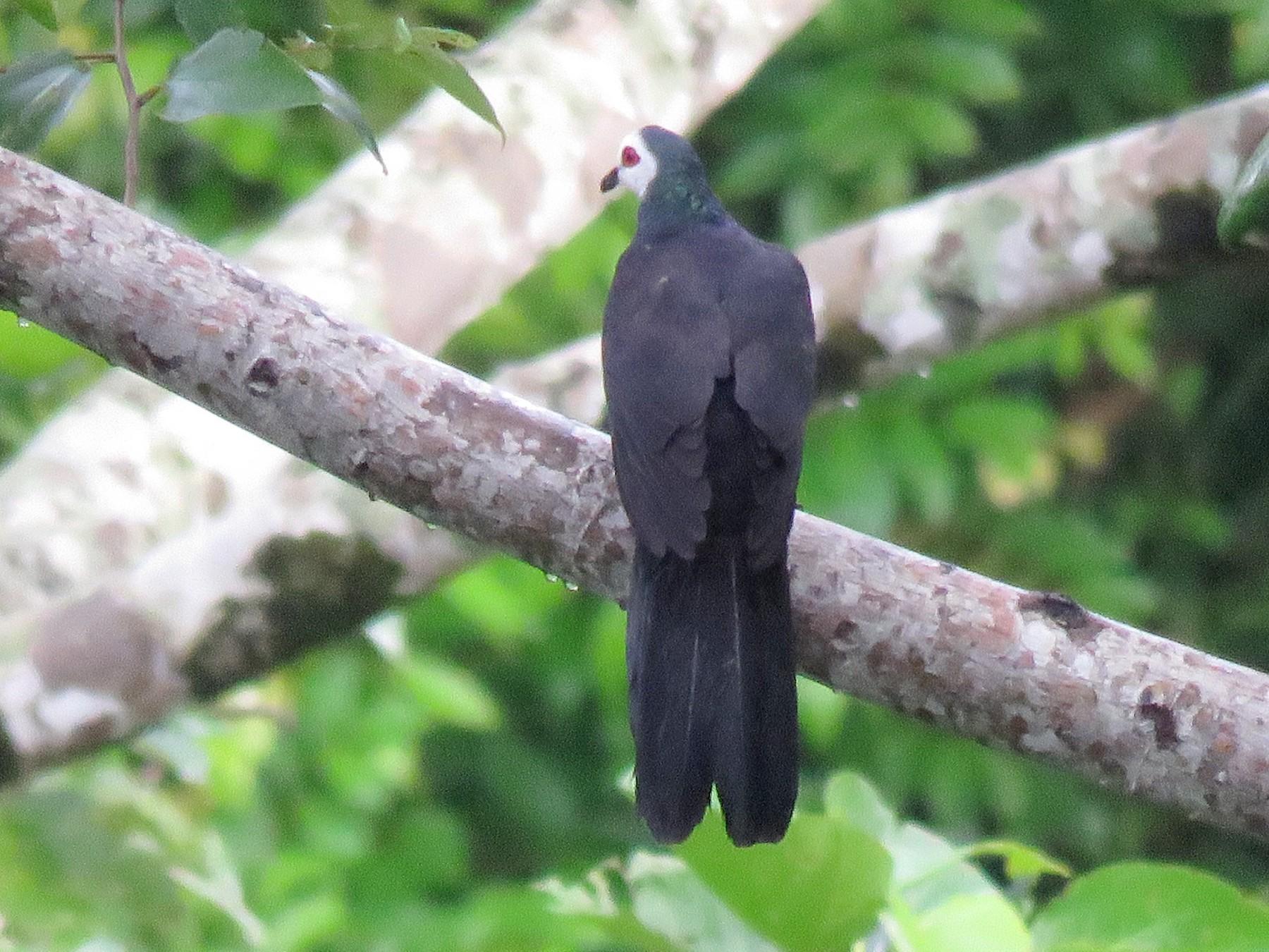 White-faced Cuckoo-Dove - Simon Thornhill