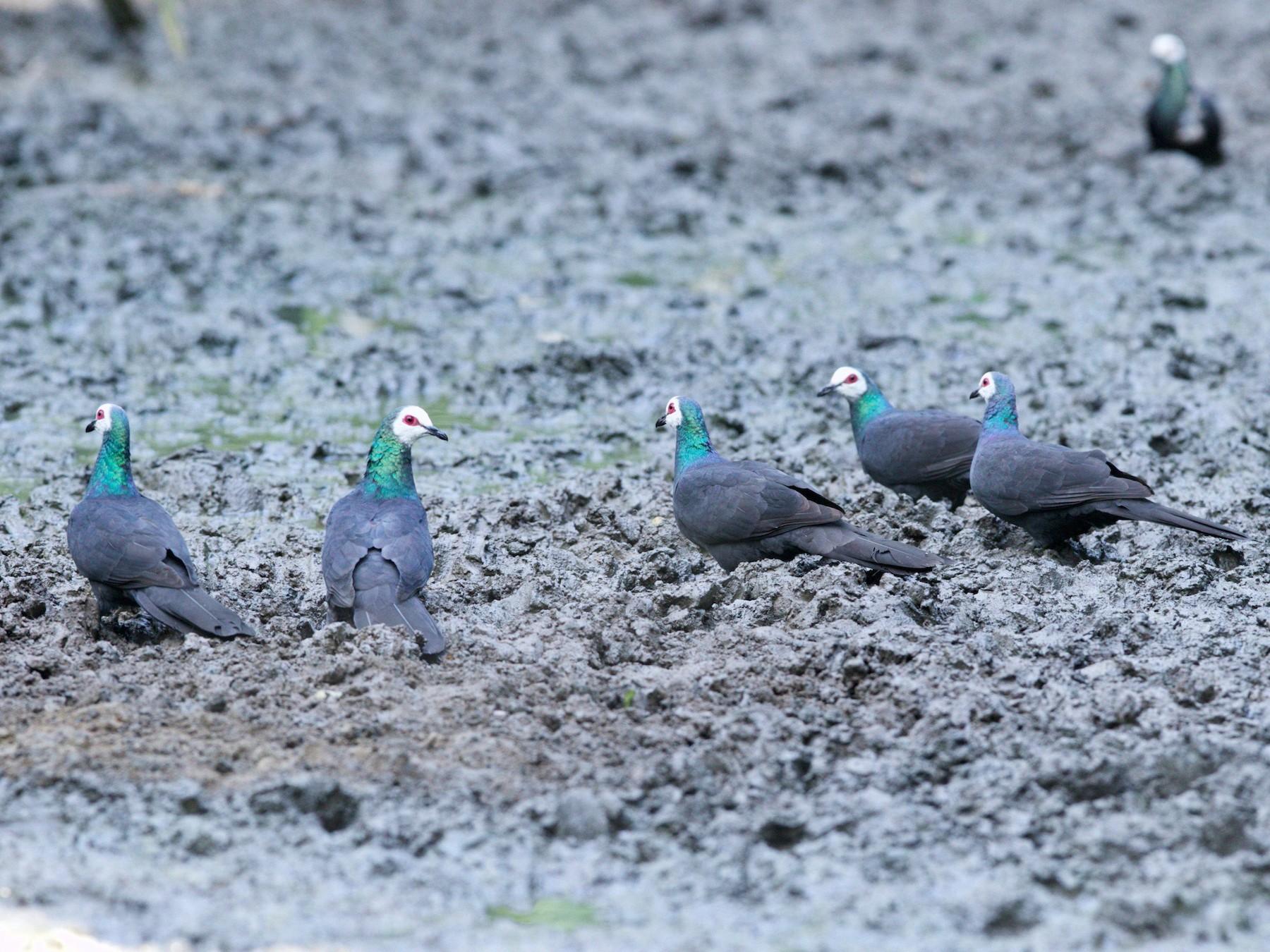 White-faced Cuckoo-Dove - Simon Mitchell