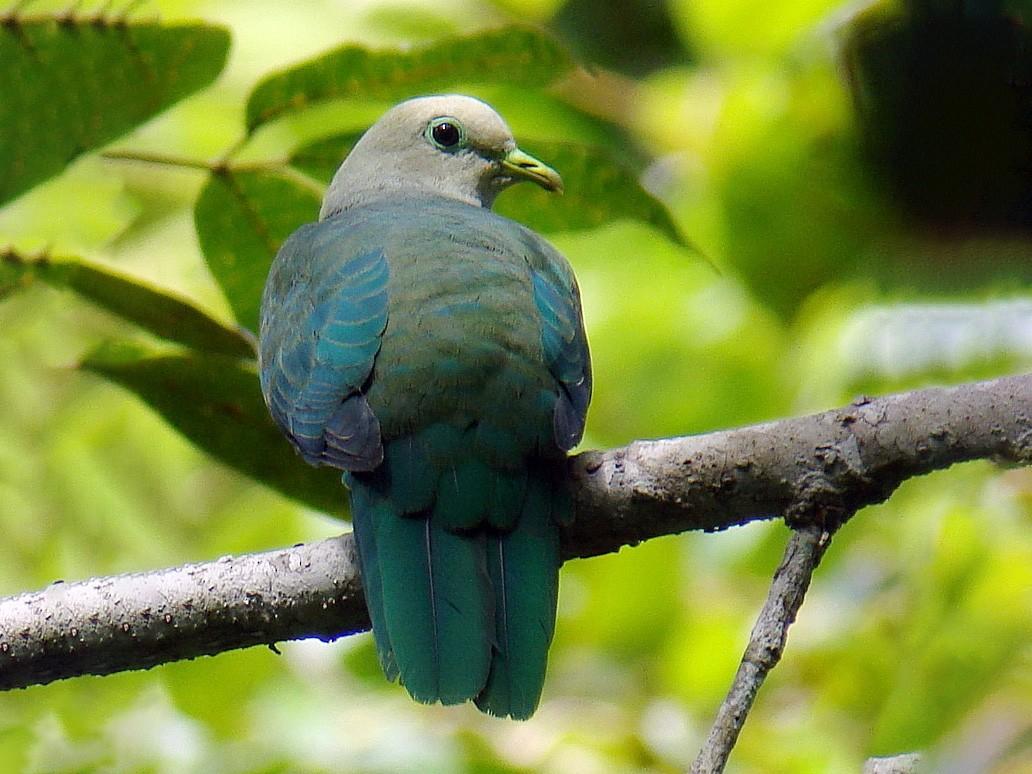 Scarlet-breasted Fruit-Dove - Stijn De Win
