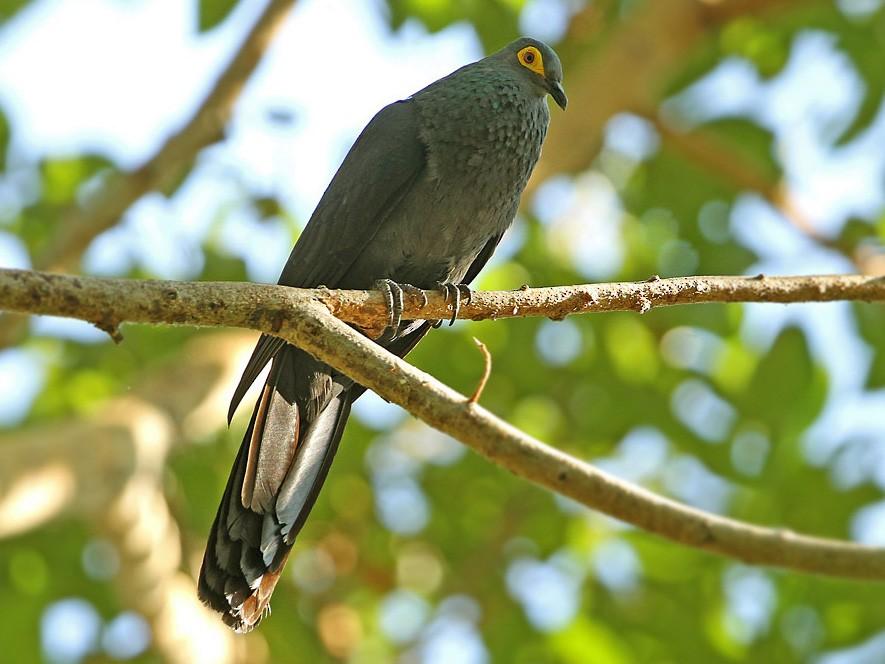 Slaty Cuckoo-Dove - James Eaton