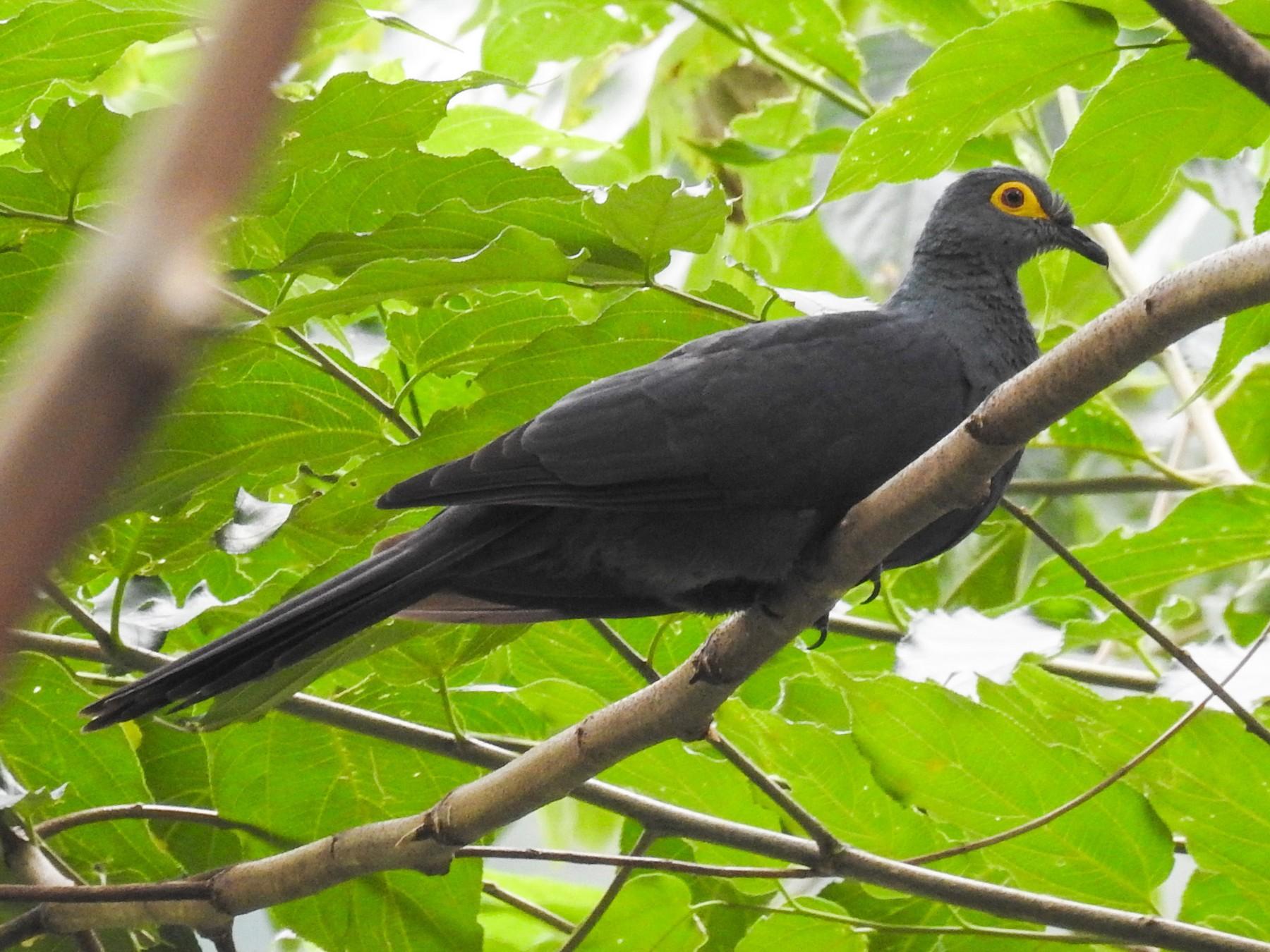 Slaty Cuckoo-Dove - Pam Rasmussen