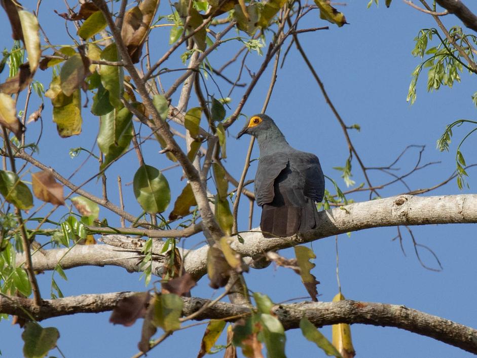 Slaty Cuckoo-Dove - Robert Tizard