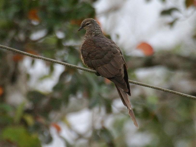 Tanimbar Cuckoo-Dove - Simon Colenutt