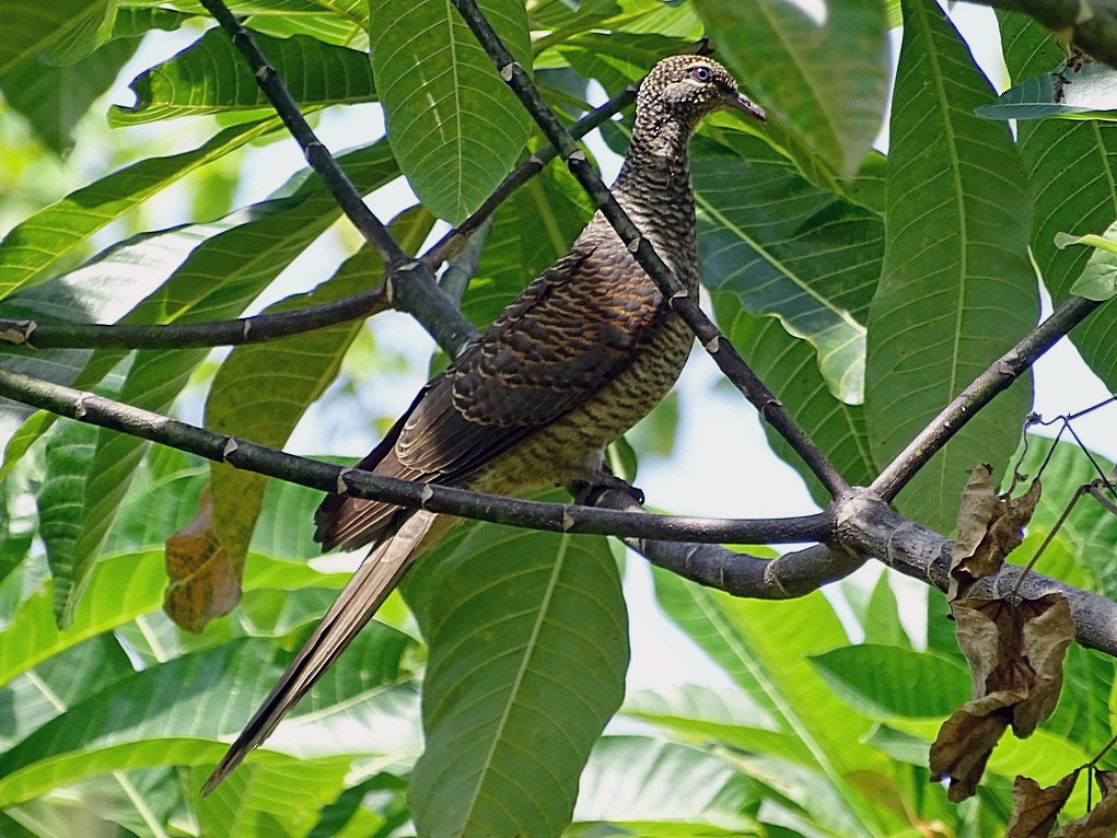 Tanimbar Cuckoo-Dove - Jens Thalund