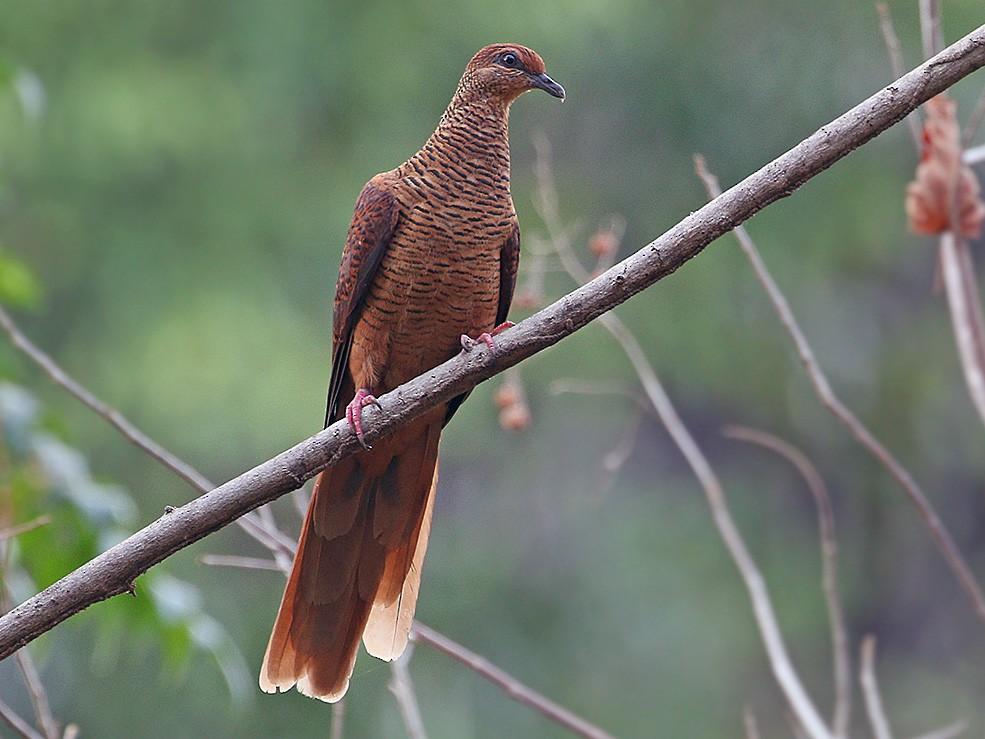 Timor Cuckoo-Dove - James Eaton