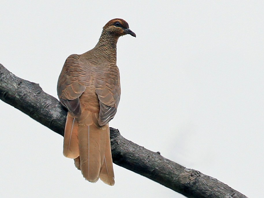 Timor Cuckoo-Dove - Lars Petersson