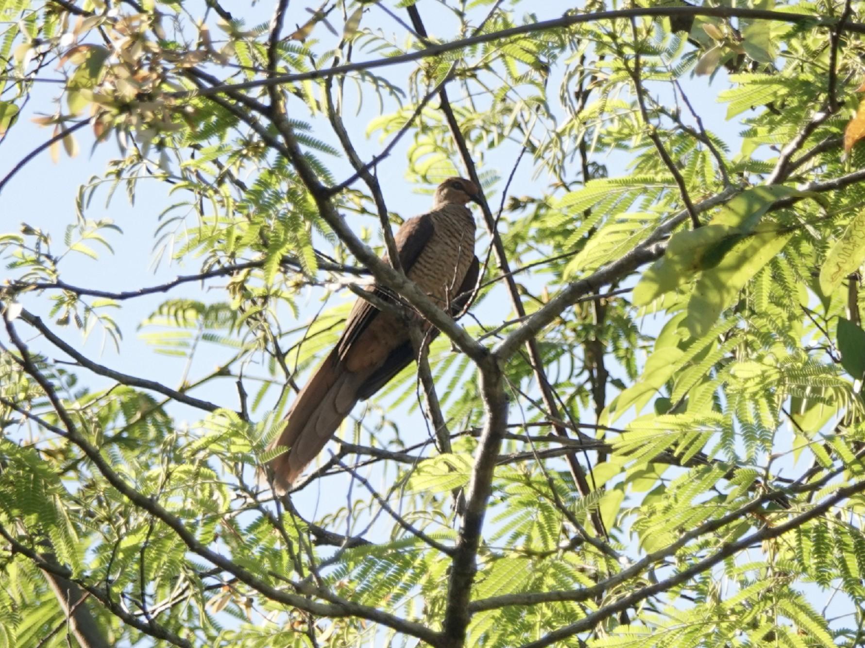 Timor Cuckoo-Dove - Jafet Potenzo Lopes