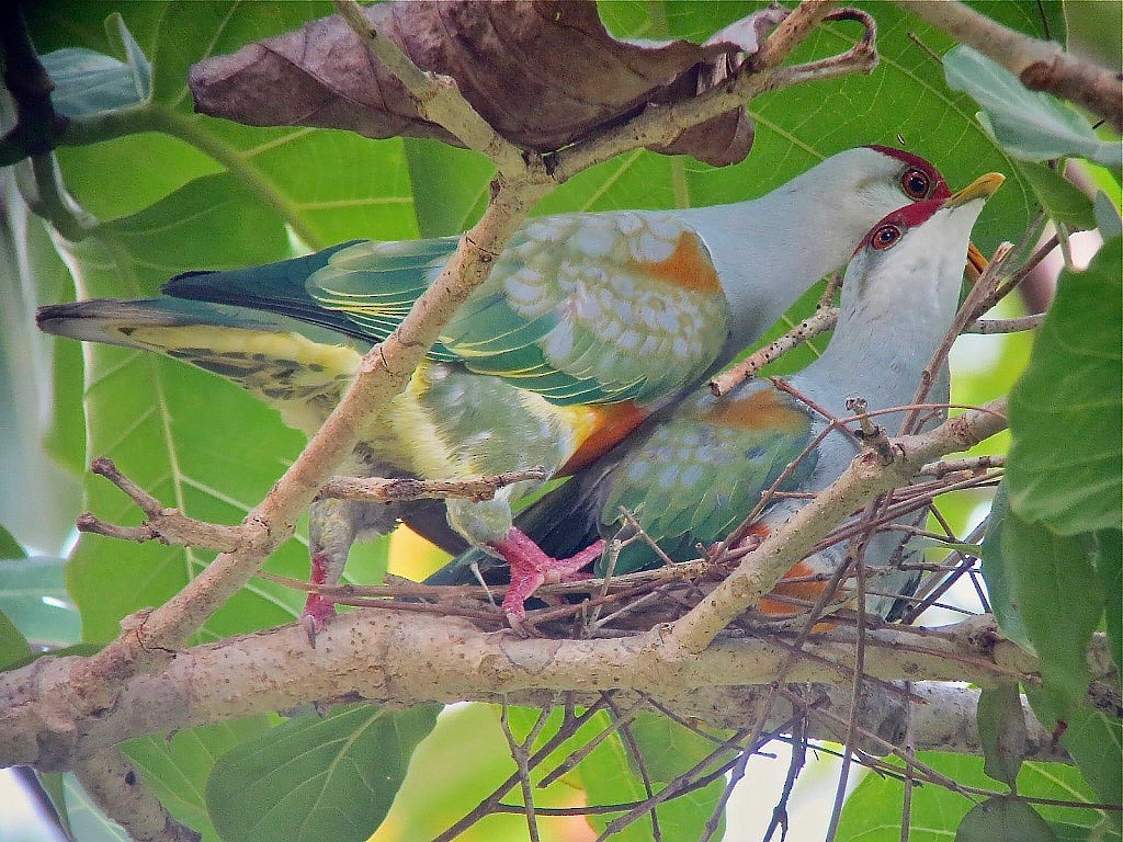 Wallace's Fruit-Dove - Craig Robson
