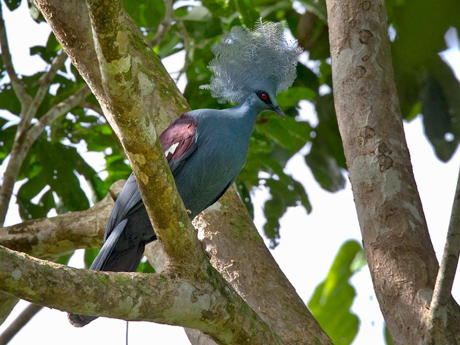 Western Crowned-Pigeon - Lars Petersson
