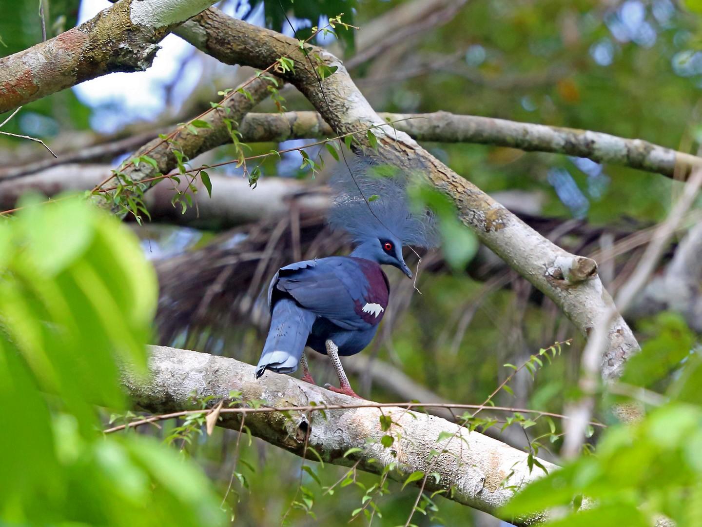 Western Crowned-Pigeon - Nigel Voaden