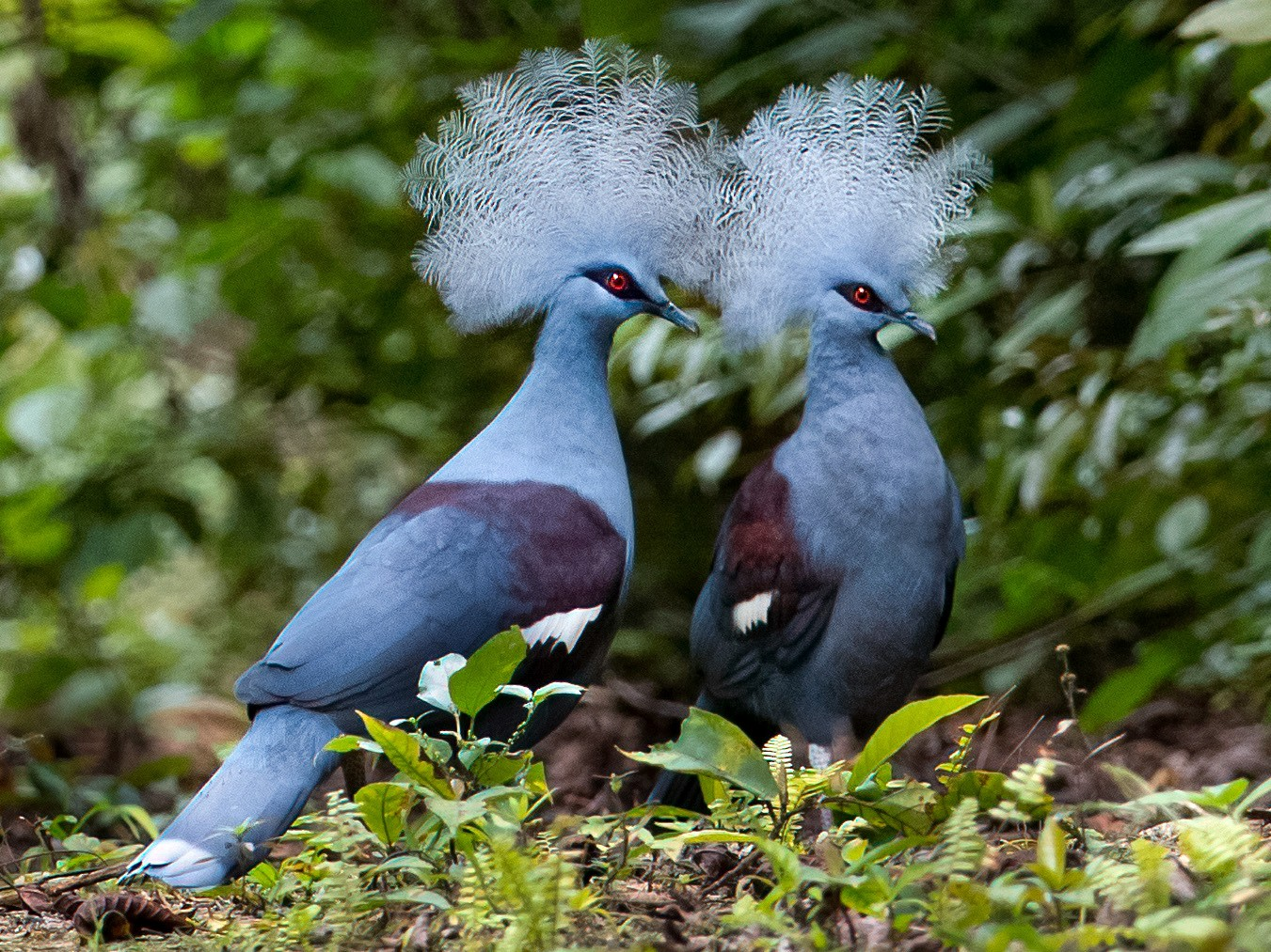 Western Crowned-Pigeon - Phil Chaon
