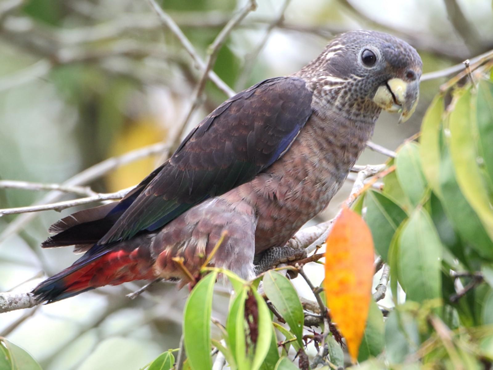 Dusky Parrot - Anselmo  d'Affonseca