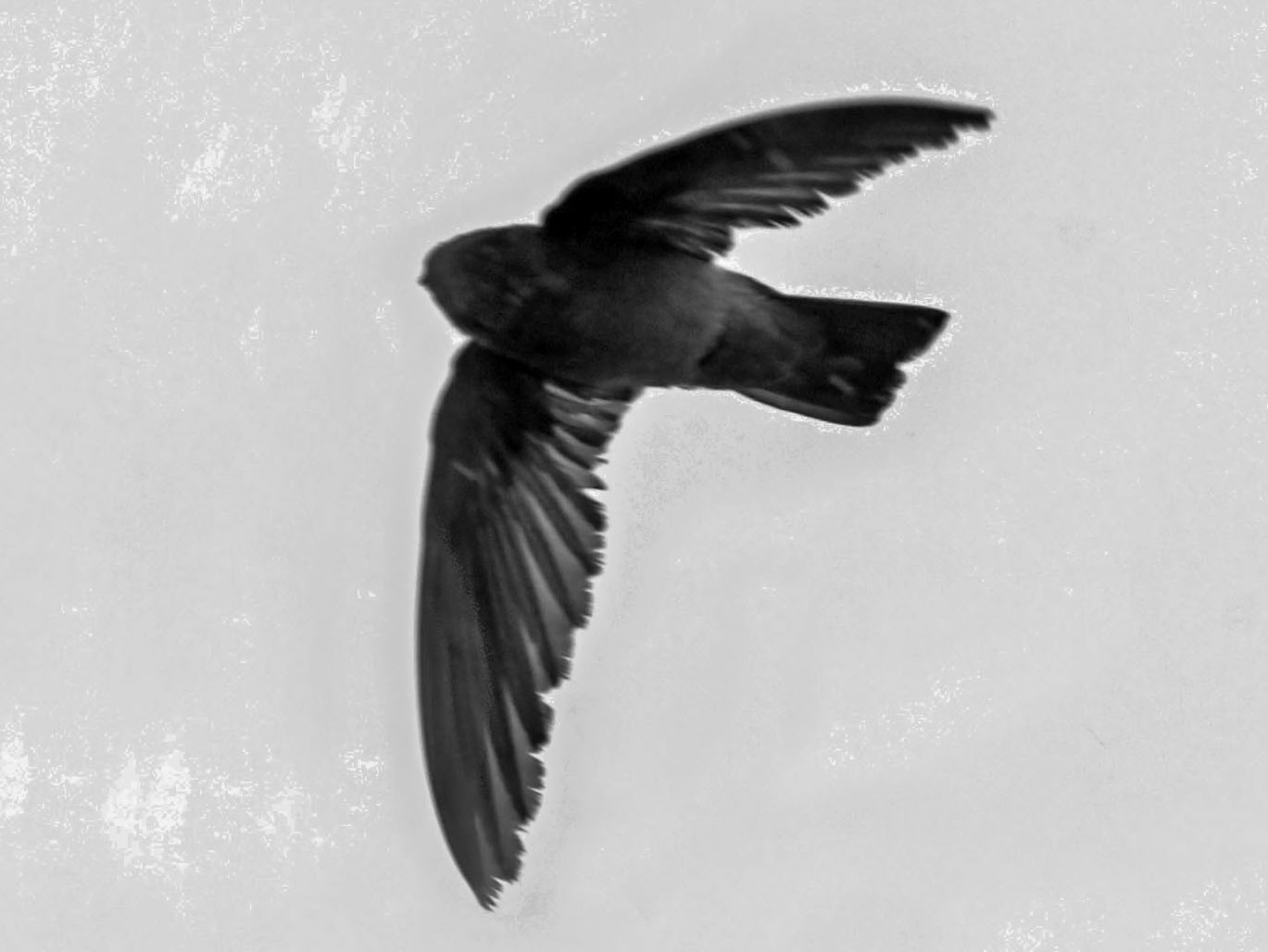 Mascarene Swiftlet - Phillip Edwards