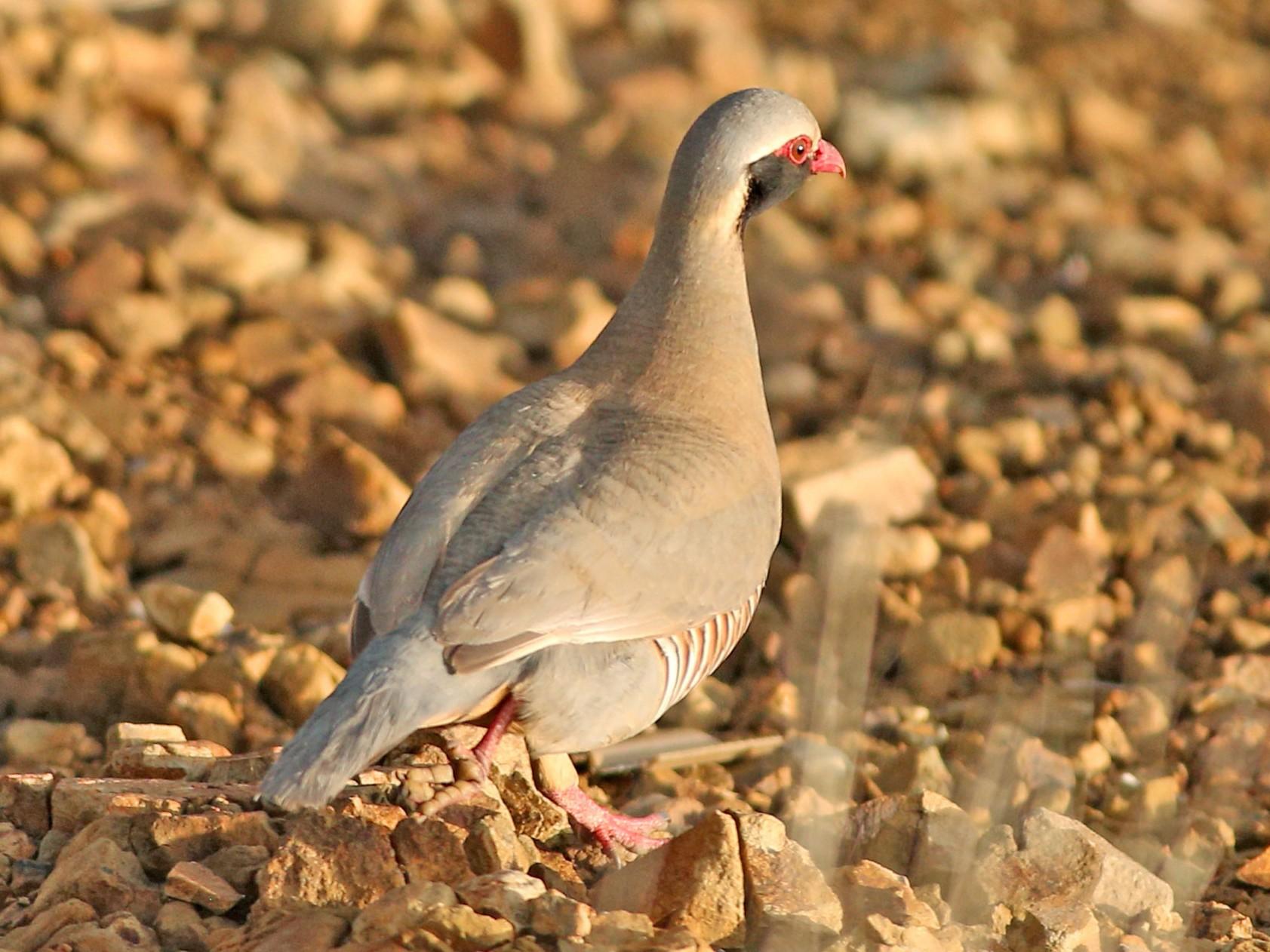 Philby's Partridge - Khalifa Al Dhaheri