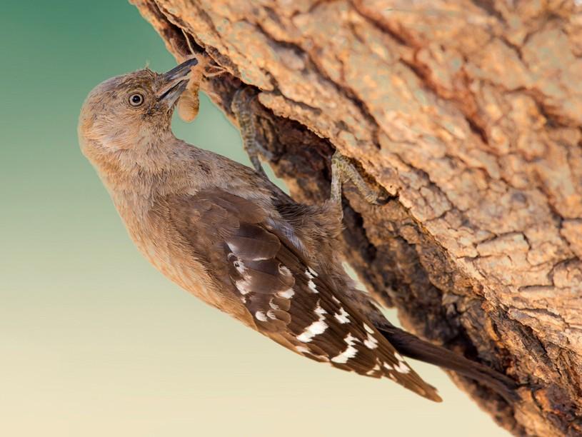 Arabian Woodpecker - Mansur Al -Fahad