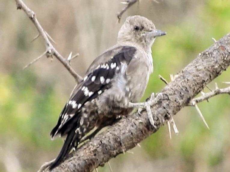 Arabian Woodpecker - Gregory Askew