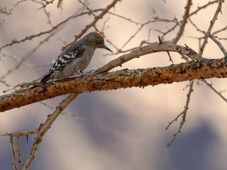 Arabian Woodpecker - David Darrell-Lambert